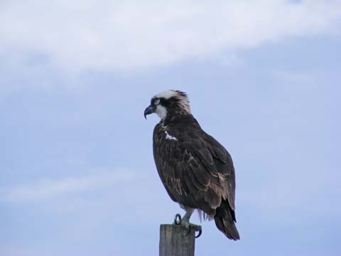 Unconcerned osprey