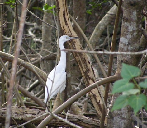 This bird had all white feathers, a blue bill with a dark tip and yellow legs. Its neck and body make a continuous line. It is standing among trees and shrubs, looking to the right.