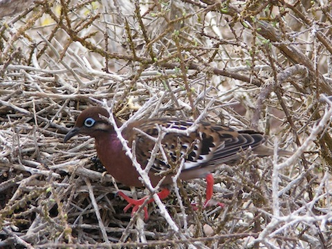 The dove is standing on the ground among bare branches. It has bright red legs and a blue eye.