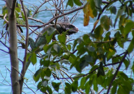 The iguana is hanging onto             small branches while reaching to the right to eat a leave.             Tree leaves are in the foreground             and the blue surface of the bay in the background.