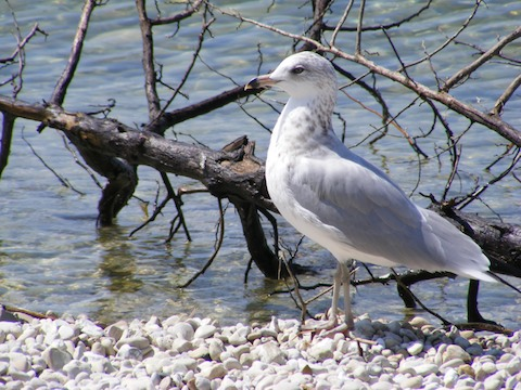 The bird is standing with its left side toward the camera on pebbly beach with the water and the bare limbs of a dead sappling behind it. The bird has a grey wing, white belly, white tail and white head. The tip of its beak is black.