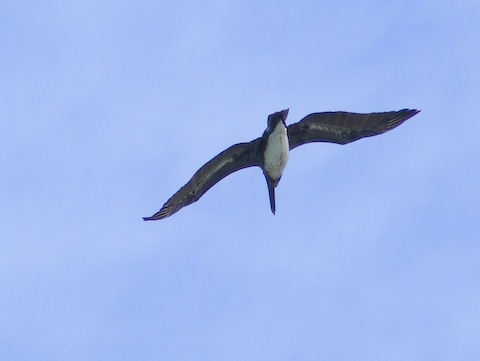The bird is flying away. It has a white belly, a long bill and a short tail.