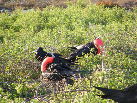 Two male frigatebirds trying to attract a mate by puffing out its red pouch. They are sitting among low bushes on the island.