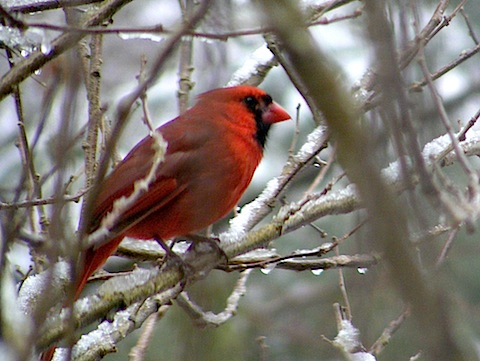 The bird is perched among snowy twigs and is facing to the right. It is all red except for a black face and throat. It has dark legs.