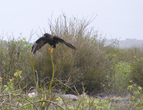 A Gal&#225pagos hawk with its wings outspread and with all dark feathers is standing on a stick with a leafless bush behind it.