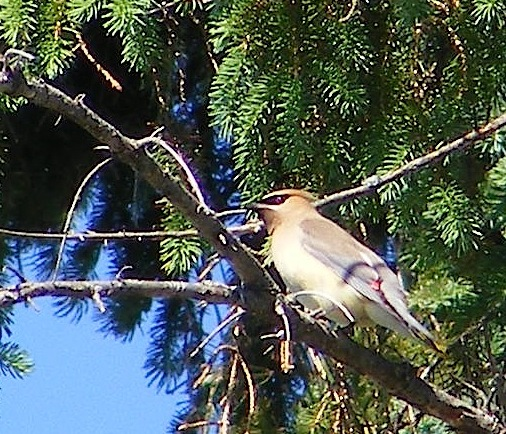 This bird is perched on a tree limb in front of a fir tree.                 It has a black mask, a crest, a yellow belly and a tan wing and tail.                 There is a tiny spot of red on its wing.