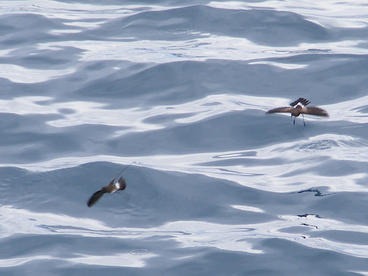 Two storm petrels almost dancing upon the sea. Their wings and bodies are dark grey and their wings are spread straight out. The legs are extended down to the water and you can see ripples where they recently touched. Their tails begin with a band of white and the ends are black.