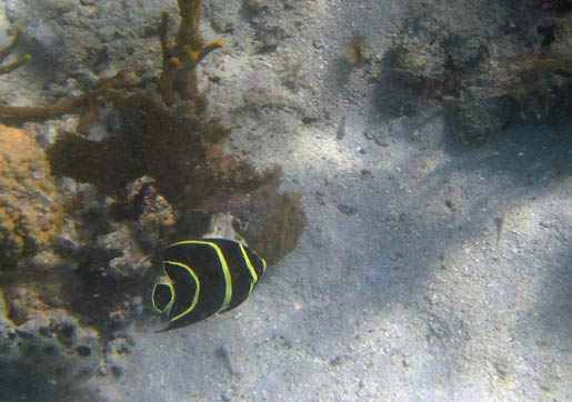 This round black fish with             vertical yellow stripes is swimming over sand near some coral.