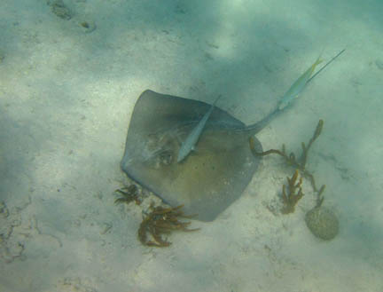 The southern sting ray is lying on             a mostly sandy bottom, its tail pointing in the upper right             direction. A bar jack is swmming above the ray and a yellowtail             snapper is swimming above the ray's tail.