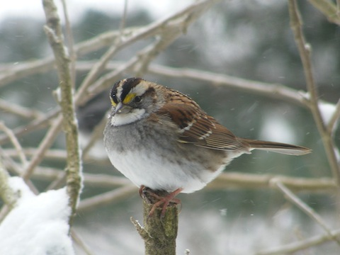 This bird has a white belly, a grey chest and a white throat. The top of the head is black except for a white stripe at the very top and above the eye. The is a yellow patch in the white stripe above the eye that is just forward of the eye.