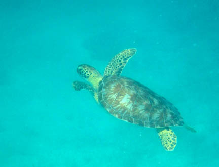 Swimming toward the left and away            from us, the turtle has its front flippers raised in the            green-appearing water. Its head and flippers appear yellow            and covered with dark spots.
