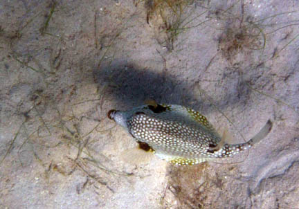 This fish is above some            grass on a mostly sandy bottom. It is black, but covered with            many white spots. From above, the snout is pointed and the             mid section is very wide.