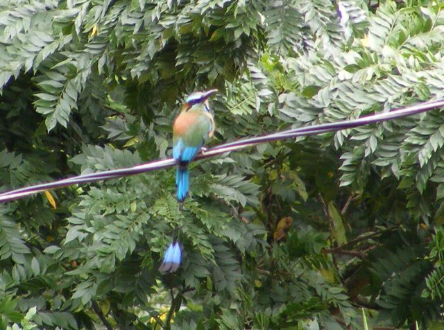 A torogoz sitting on a wire with tree leaves                   in the background. The bird's back is to us                  with its head turned to the right. Its back is                  orange, the wings are green and blue. The long                  tail is bright blue ending in black tips.