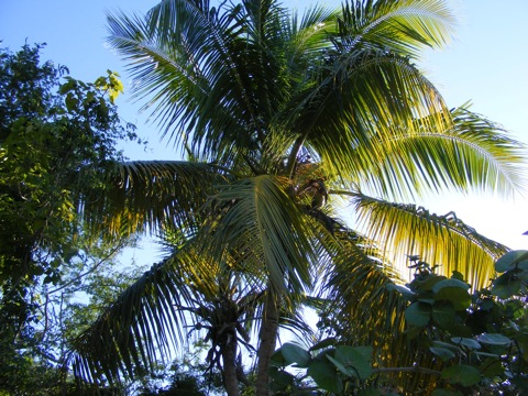 Coconuts and fronds of a coconut palm silhouetted against the sky