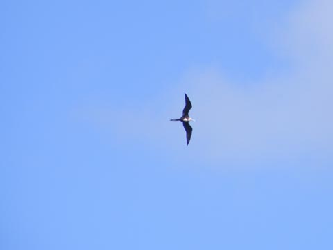 A female (see white throat) magnificent   frigatebird soaring over the harbor at Cruz Bay